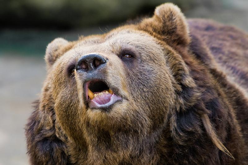 Um Sie vor den Nudisten zu verschonen, zeigen wir Ihnen an dieser Stelle einen gähnenden Bären (Quelle: minibild.de